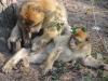 Berberaffen im Affenwald Malchow