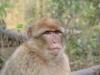 Berberaffe im Affenwald Malchow