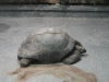 Riesenschildkröte in Hagenbeck's Tierpark