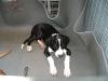 4- Monate alter Doggen- Welpe