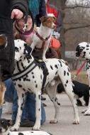 Dalmatiner Lord Leon mit Jack Russell Terrier Layla auf dem Rücken