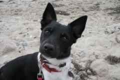 Jack Russell Terrier Jacky