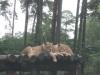 Löwen im Serengetipark Hodenhagen