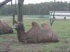 Kamel im Serengetipark Hodenhagen