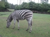 Zebra im Serengetipark Hodenhagen