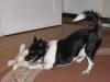 Jacky mit seiner Lieblings- Quietscher- Maus