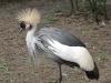 Kronenkranich im Weltvogelpark Walsrode