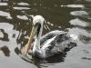 Chilepelikan im Weltvogelpark Walsrode