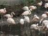 Chile- Flamingos im Weltvogelpark Walsrode