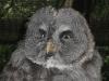Bartkauz im Weltvogelpark Walsrode