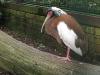 Mähnenibis im Weltvogelpark Walsrode