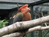 Feuerhornvogel im Weltvogelpark Walsrode