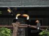 Weißbrusttukan mit Jungtieren im Weltvogelpark Walsrode