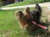 Yorkshire Terrier Maya