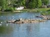 Lachmöwenkolonie auf dem Herrensee