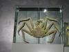 Ozeaneum Stralsund - Krabbe in Formaldehyd