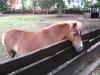 Shetland- Pony