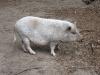 Mischung zwischen Hängebauch und Wildschwein