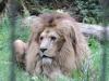 Löwe Matadi im Zoo Chemnitz