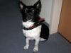 mein Jack Russell Terrier