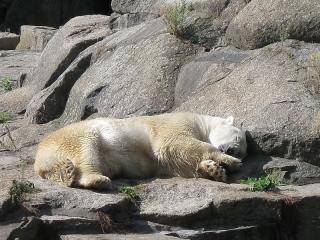 Eisbär Knut beim Mittagsschläfchen