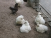 Puschel- Hühner