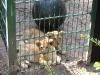Baby- Löwen