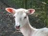 Albino- Damhirsch