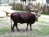 afrikanisches Rind